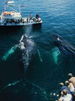 Two Humpback Whales in Gulf of Maine