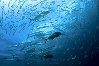 Schools of bigger fish in Raja Ampat