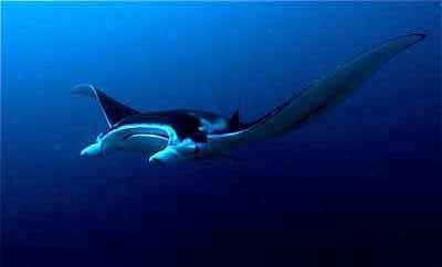 Manta in Yap