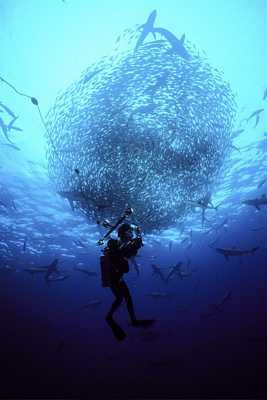 "Howard Hall films bait ball with feeding silky sharks for IMAX film ""Island of the Sharks"""