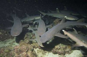 White tip reef sharks hunt at night in the divers' lights