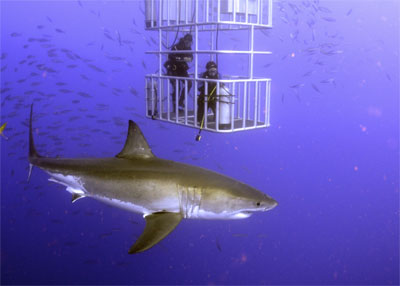 Shark passing by cage
