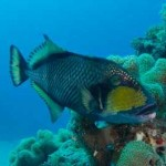 Titan Triggerfish -- Beware