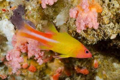 Cave Basslet, Liopropoma multilineatum
