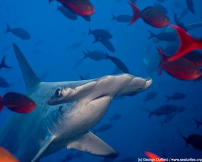 Cocos scalloped hammerhead, photo by George Duffield