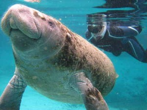 Manatee Swimmer, photo by Capt Stacy Dunn