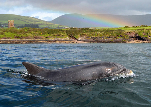 Fungie, the wild dolphin in Ireland