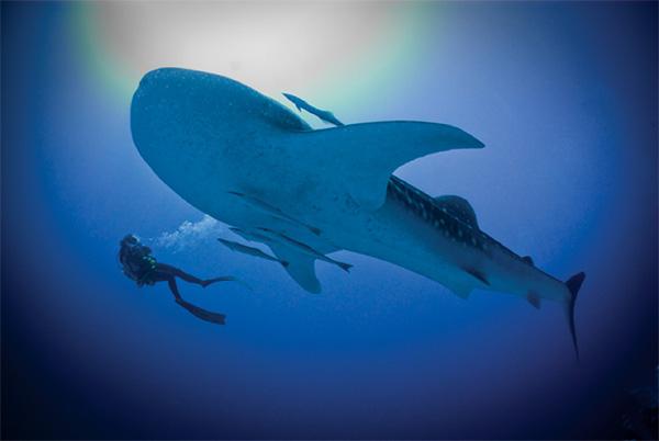 Whale shark in Maldives