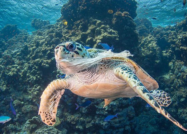 Sea turtle with plastic picture by Saeed Rashid