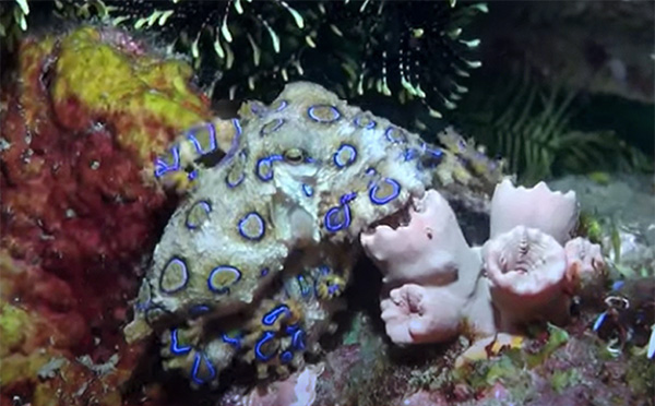 Blue-ring octopus