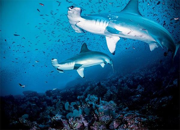 hammerhead sharks - Cocos Island