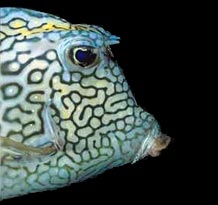 Undercurrent Trunk Fish