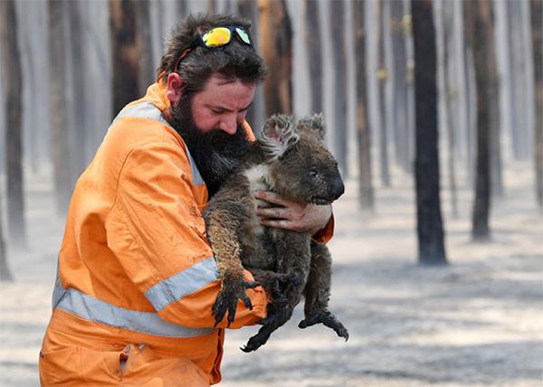 Rescued koala - Australia Fire