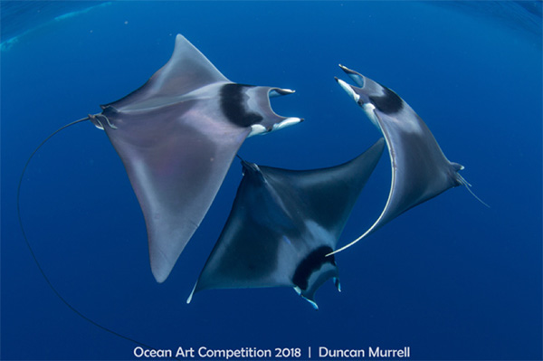 three giant mobula rays engaged in an underwater ballet by Duncan Murrell - Ocean Art 2018 Winner