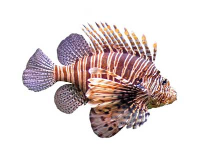 Curbing the Lionfish Invasion: A Futile Fight