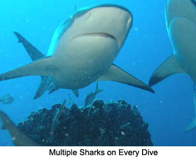 Multiple Sharks on Every Dive