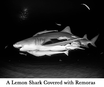 A Lemon Shark Covered with Remoras
