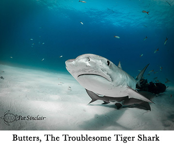 Butters, The Troublesome Tiger Shark