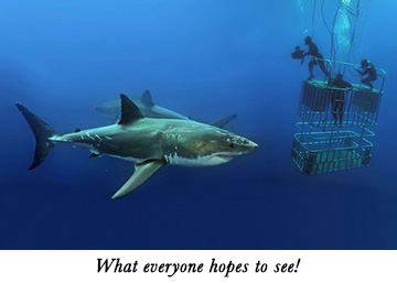 Cage diving with Guadalupe's great whites