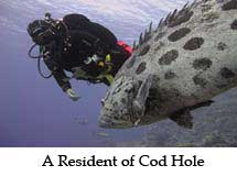 A Resident of Cod Hole