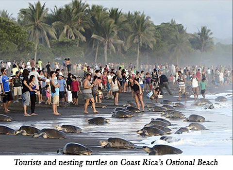 Tourists and nesting turtles on Coast Rica's Ostional Beach