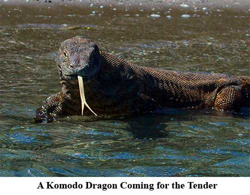 A Komodo Dragon Coming for the Tender